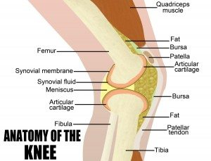 Anatomy of the knee vector illustration (for basic medical education for clinics & Schools)