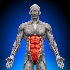Abs - Anatomy Muscles - Medical - Human
