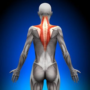 Trapezius - a Female Anatomy Muscles Human Anatomy
