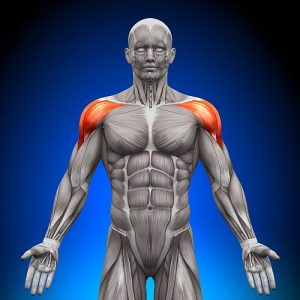 Shoulders / Deltoid - Anatomy Muscles - Medial