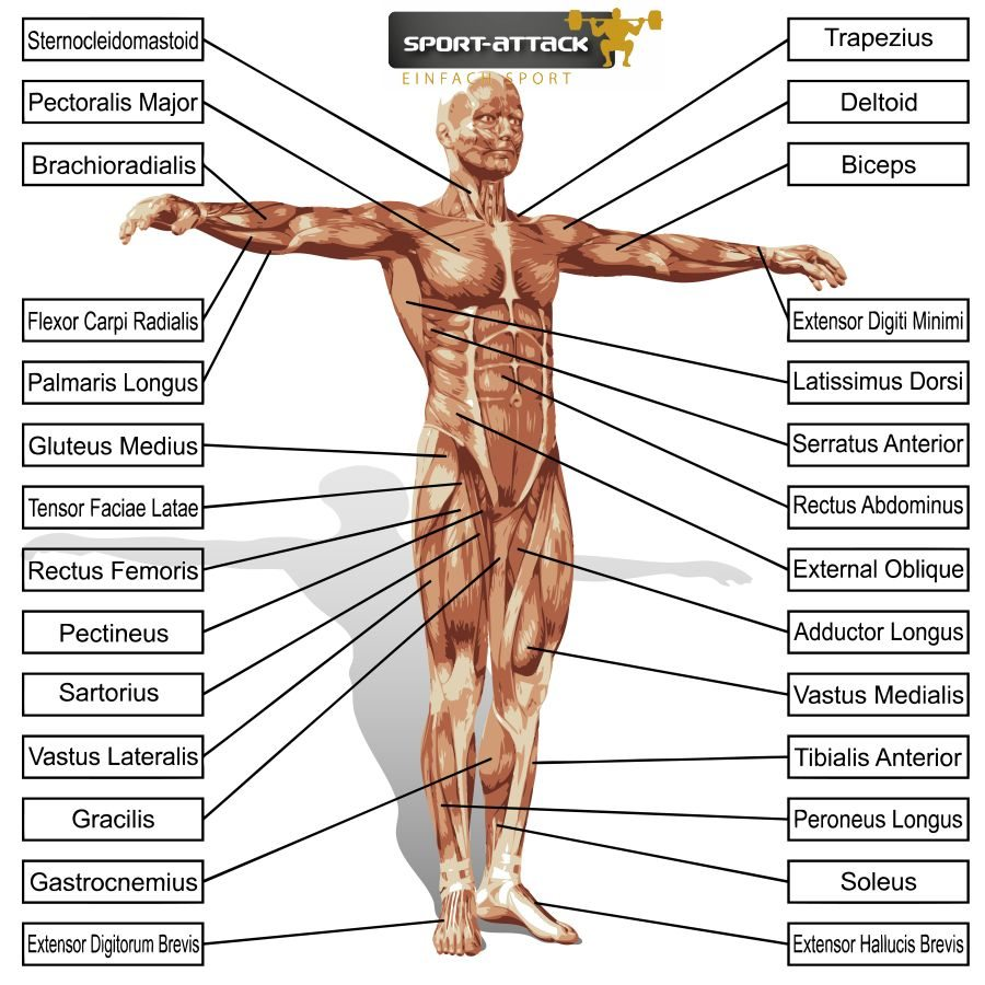 A 3D male or human anatomy, a man with muscles and text isolated