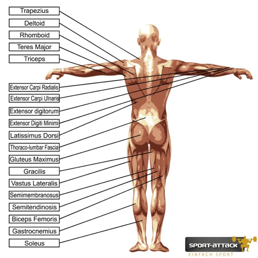 3D vector male or human anatomy, a man with muscles and text iso
